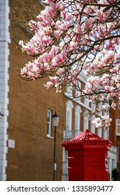 Magnolia tree is blooming in front of elegant buildings in Kensignton area in Central  London