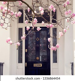 Magnolia tree is blooming in front of elegant building in Kensignton area in Central  London