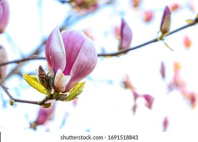 Magnolia tree blossom blooming, Seattle Washington