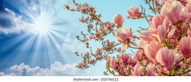 Magnolia tree blossom with colourful sky on background.