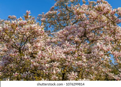magnolia tree blossom on a bright sunny spring day with blue sky