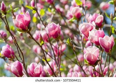 Magnolia tree blossom in the springtime