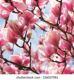 Magnolia tree blossom in springtime