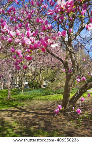 Magnolia Tree Blossoming City Hall Park Stock Photo Edit Now