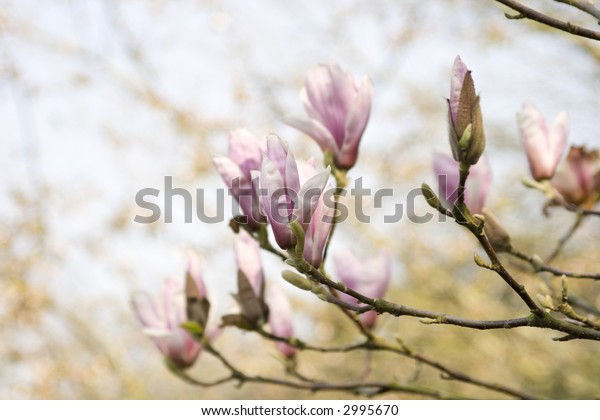 Magnolia tree branches with tender blossom, focus on central bud