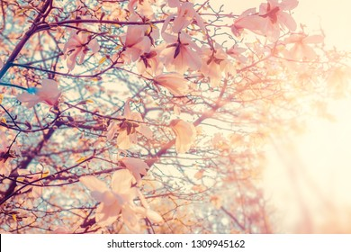 Magnolia tree flowers bud in spring at sunset. Nature floral blossoming background. Pastel colors.