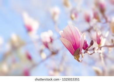 Magnolia tree flowers spring blossom