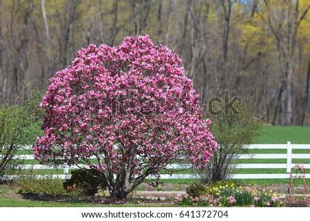 Magnolia Tree Full Bloom Stock Photo Edit Now 641372704 Shutterstock