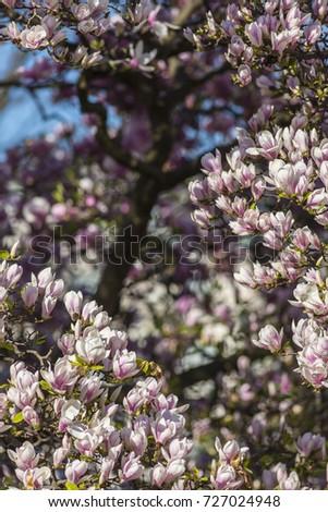 Magnolia Tree Full Bloom Detailed Photo Stock Photo Edit Now