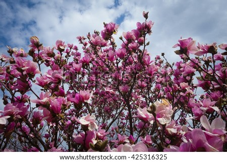 Magnolia Tree Red Blossoms Stock Photo Edit Now 425316325