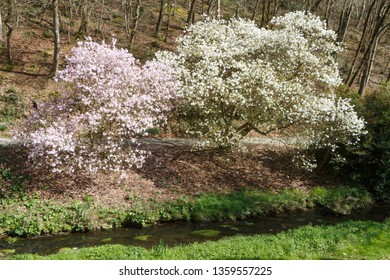 Magnolia trees flowering in a park at the beginning of spring