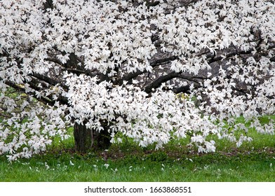 Midwest Spring Tree Of White Blossoms Images Stock Photos