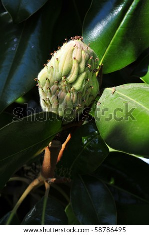Magnolia Trees Seed Pod Follows After Stock Photo Edit Now