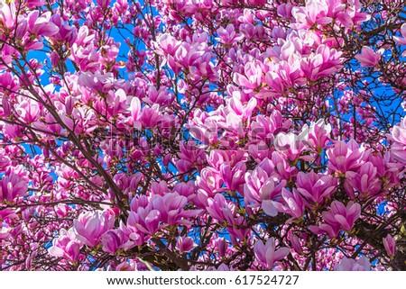 Magnolia tulip tree on blue sky stock photo edit now 617524727 magnolia tulip tree on blue sky background magnolia pink flowers on flowering magnolia tree background mightylinksfo