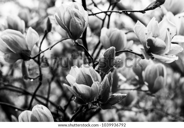 Magnolias in Full Bloom