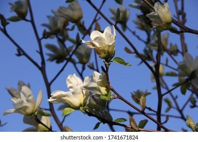 Magnolias Springing Up in Ottawa Canada