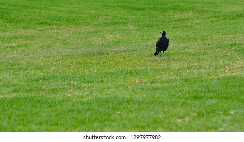 Magpie bird looking to the left side standing on green grass