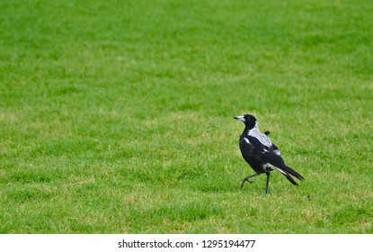 Magpie bird standing on green grass lifting one leg
