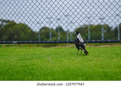 Magpie bird standing on green grass near black fence looking at left side