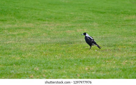 Magpie bird standing on green grass looking at left side