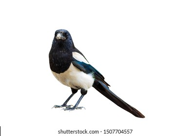 Magpie. Black white crow. Isolated bird. White background. Bird: Eurasian Magpie. Pica pica.