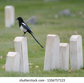 Magpie in Cemetary