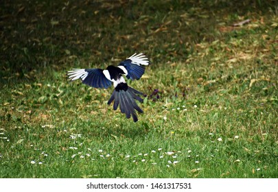 Magpie Eurasian, (Pica pica) in flight.  The Eurasian Magpie or common magpie (Pica pica) is one of several birds in the crow family, Corvidae.
