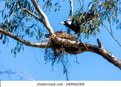A magpie feeding its babbies in a nest on a branch