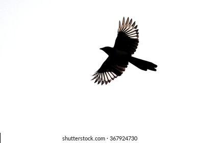 A magpie flies past showing off its beautiful black and white wings.