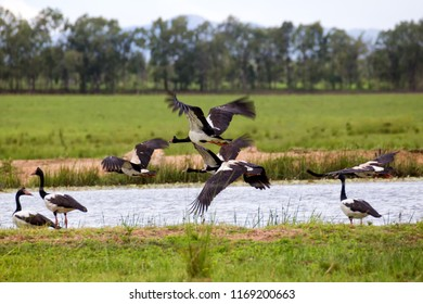 Magpie Geese flying near water on the Atherton Tableland in Queensland, Australia