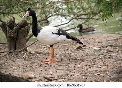 the magpie goose is black and white goose with orange legs