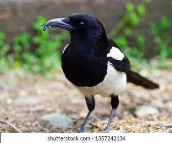 magpie with insect in its beak