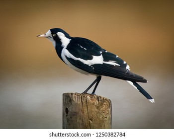 Magpie Lark, a monarch flycatcher. Aka Peewee in New South Wales and Queensland, Mudlark in Victoria and Western Australia, and a Murray Magpie in South Australia. Black and White Bird.