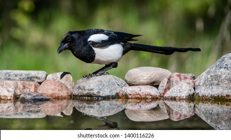 Magpie (Pica Pica) on her hunt for food to the nestlings, here on the rocks at the pond