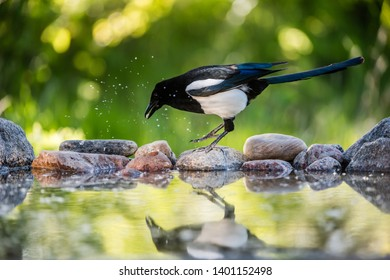 Magpie (Pica Pica) on her hunt for food to the nestlings, here jumping on the rocks at the pond