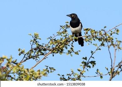 Magpie Pica pica sitting on a branch . Looking for new food.  The black and white Eurasian magpie is widely considered one of the most intelligent animals in the world.