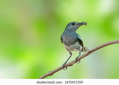 Magpie robin female having worm in her beak