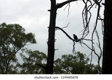 Magpie seen in Wilpena Pound, Flinders' Ranges, South Australia, Australia
