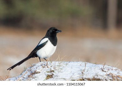 Magpie sitting on snow covered ground blurred background. Wildlife photography europe. Birdwatching hide.