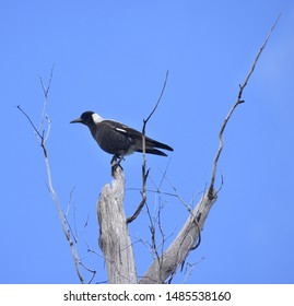 Magpie sitting on top of a dead tree in front of a blue sky