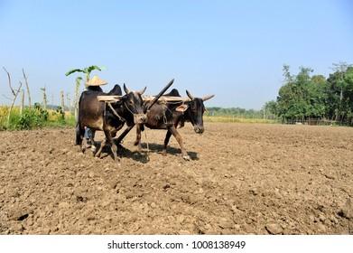 MAGURA, BANGLADESH - NOVEMBER 12, 2006: A Bangladeshi farmer uses the traditional plow pulled by cows to till the soil for planting rice crop at Magura, Bangladesh on November 12, 2016.