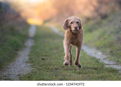 Magyar Vizsla 13 years old. old dog runs in the fall over a meadow in backlight in the evening