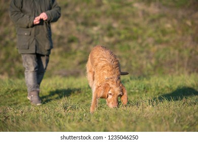 Magyar Vizsla 13 years old - Old dog is sniffing in the grass and follow a track