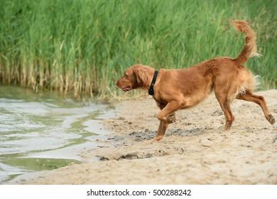 Magyar Vizsla Dog on water