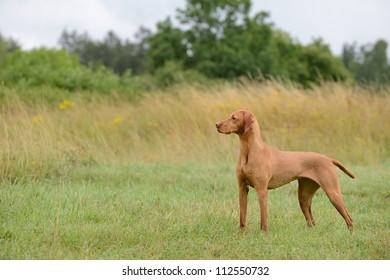 Magyar Vizsla dog standing