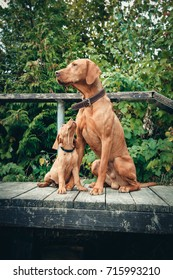 Magyar Vizsla puppy is looking up to his father