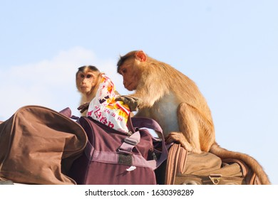 Mahabaleshwar, India- January 22 2020: two monkeys are stealing the tourist food from their bags. Tourists facing this problem at here from some days.