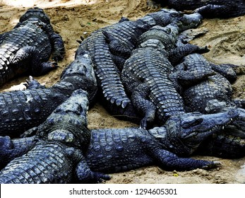 MAHABALIPURAM, CHENNAI, TAMIL NADU, INDIA, APRIL 07, 2017: Crocodiles basking in the morning sunlight in the Madras Crocodile Bank Trust and Centre for Herpetology, founded by Romulus Whitaker.