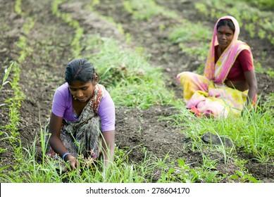 MAHARASHTRA, INDIA  SEPTEMBER 24, 2011: women working in Ginger farm, SEPTEMBER 24, 2011. Salunkwadi, Ambajogai, Beed, Maharashtra, India