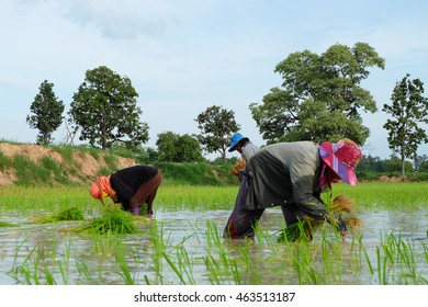 MAHASARAKHAM, THAILAND-JULY 18: Thai farmers are planting rice on July 18,2016 at Wapi Pathum, Mahasarakham,Thailand.